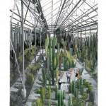 le-cactus-chauve
